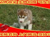 出售哈士奇幼犬 纯种健康有保障