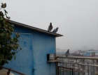 家养飞鸽出售