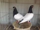 郴州观赏鸽子 摩登那鸽活体出售
