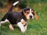 岳阳哪有比格犬卖 岳阳比格犬价格 岳阳比格犬多少钱