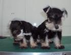 专业犬舍繁殖纯种雪纳瑞幼犬 质量 品质 血统