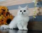 出售純種家養金吉拉貓 疫苗齊包健康 全國包郵