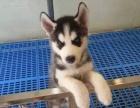 重庆出售哈士奇雪橇犬纯种三火蓝眼流星尾黑灰红色宠物公母