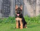 北京纯种德国牧羊犬价格,北京哪里能买到纯种德国牧羊犬