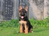 德牧幼犬出售,純種健康的狗狗幼犬犬舍繁殖父母可見