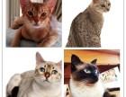 上海其他宠物猫出售已打疫苗