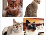 昆山加菲猫多少钱一只