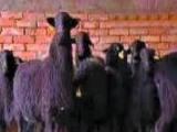 乌骨羊养殖 乌骨羊养殖诚邀加盟