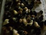 常年批发零售越南斗鸡苗 纯种斗鸡苗价格
