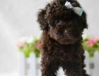 可爱泰迪犬宝宝 当面检查 确保健康 价格好商量