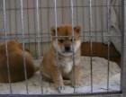 哪里出售柴犬 柴犬哪里出售柴犬价格