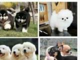 麒麟犬舍 出售纯种 斯塔福犬万能梗喜欢 可上门挑选