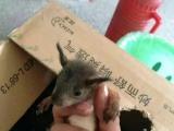 2017垂耳兔宝宝,魔王松鼠幼鼠合格鼠