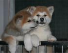 自家养的双血统阿拉斯加秋田犬一窝小狗待售 欢迎上门挑选
