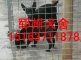 七台河黑狼犬价格黑狼犬多少钱一只