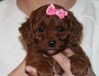 出售宠物狗小型犬 茶杯泰迪幼犬 迷你茶杯泰迪犬活体纯种贵宾犬