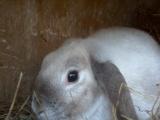出售宠物兔子