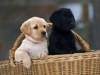 国人导盲犬拉布拉多宝宝出售