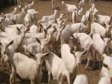 肉羊育肥优农康你想知道的肉羊育肥方法