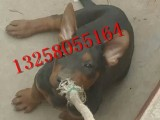 常年出售苏联红犬的图片视频 成年苏联红犬多少钱一条