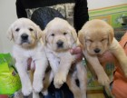 成都出售 精品拉布拉多幼犬一簽協議送用品 健康出售