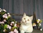 烟台CFA注册小朗名猫馆近期出售中的纯种猫实拍照片