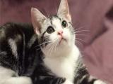 傲娇萌猫纯种虎斑猫 美短渐层蓝白折耳宠物猫活体幼体