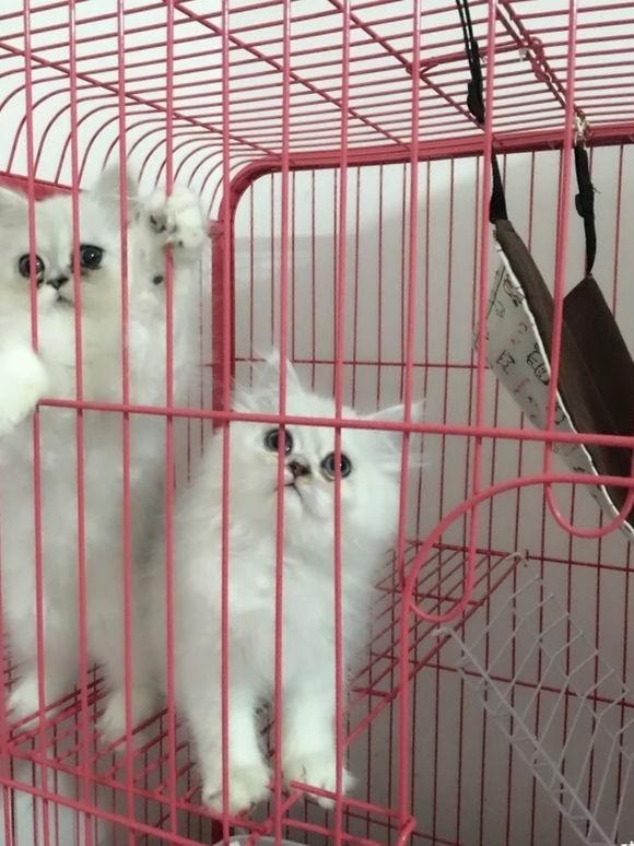 珠海哪里有金吉拉猫卖 猫舍直销 健康活泼 包纯种 保养活