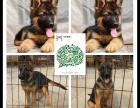 天津出售2 4个月幼犬(德牧)疫苗齐签协议