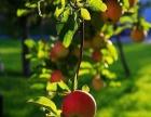 出售100亩成熟苹果园,接手即有可观收益