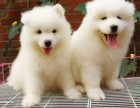 纯种萨摩耶幼犬 头版骨架极佳 微笑天使 宠物狗活体