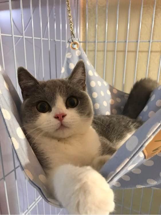 西安哪里有英短猫卖 专业繁殖 公母均有 包纯种包健康