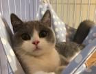 泉州哪里有英短猫卖 专业繁殖 公母均有 包纯种包健康