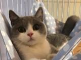 海口哪里有英短猫卖 专业繁殖 公母均有 包纯种包健康