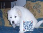 纯种大白熊 家养繁殖 可先检查确保没问题再抱走