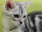 金牌猫舍繁育各种品种猫咪幼崽