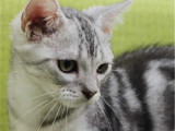北京顺义纯种虎斑幼猫多少钱