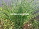水葱批发 水葱种苗 专业承接水葱种植
