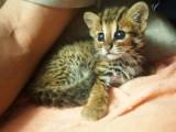 威海哪里有孟加拉豹猫卖 野性外表温柔家猫性格 时尚 漂亮