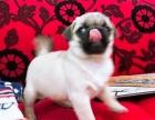 重庆本地出售纯种巴哥幼犬 上门六折 当面挑选 包退换 签协议