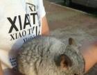 出售两只银斑小龙猫