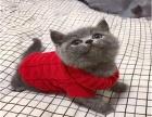 CFA正规猫舍出售纯种蓝猫精品可上门选购