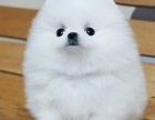达州哪里出售博美犬 达州博美犬多少钱