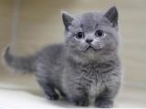 河源龙川健康活波纯种宠物猫 自己家繁育现货出售