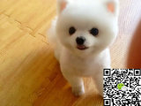 出售纯种博美幼犬 哪里卖健康博美熊多少钱 博美价格