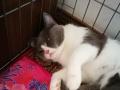 郑州本地纯家养蓝猫弟弟,个大膘肥,八月四号生