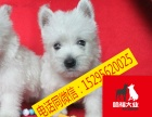 精品西高地白梗幼犬/实物拍摄/纯种健康质保可签协议