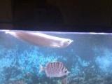 38-40公分银龙鱼处理