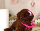 大型犬舍繁殖高品质泰迪犬健康有保证欢迎上门