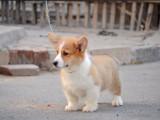 柯基犬 卖柯基犬 福州出售柯基犬